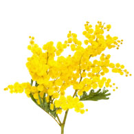 Meaning of acacia flowers what do acacia flowers mean acacia flower mightylinksfo