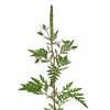 Ambrosia Flower