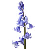 Bluebell Flower
