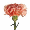Carnation Bloom