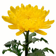 Meaning of chrysanthemums what do chrysanthemum flowers mean chrysanthemum flower mightylinksfo