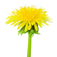 Meaning of dandelions what do dandelion flowers mean for Dandelion flowers and gifts