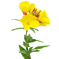 Meaning of evening primrose what do evening primrose flowers mean evening primrose flower mightylinksfo