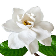 Meaning of Gardenias | What do Gardenia Flowers Mean?