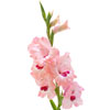 Gladioli Branch