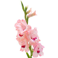 Meaning Of Gladioli What Do Gladiolus Flowers Mean