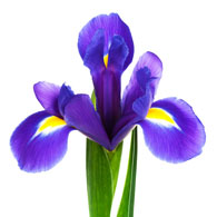 Meaning Of Irises What Do Iris Flowers Mean