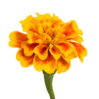 Image result for marigold flower