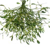 Mistletoe Flower