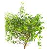 Myrtle Branch