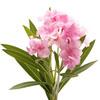 Oleander Bloom
