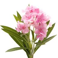 Meaning of oleanders what do oleander flowers mean oleander flower mightylinksfo