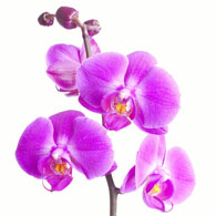Meaning Of Orchids What Do Orchid Flowers Mean