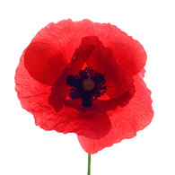 Meaning of poppies what do poppy flowers mean poppy flower mightylinksfo