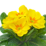 Meaning of primroses what do primrose flowers mean primrose flower mightylinksfo