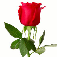 Meaning Of Roses What Do Roses Mean