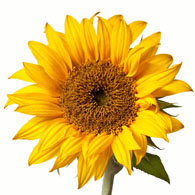 meaning of sunflowers what do sunflowers mean. Black Bedroom Furniture Sets. Home Design Ideas