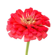 Meaning Of Zinnias What Do Zinnia Flowers Mean