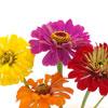 Zinnia Mixed Flower