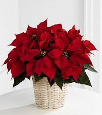 Red Poinsettia Basket - 6