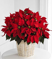Large Red Poinsettia Basket - 8