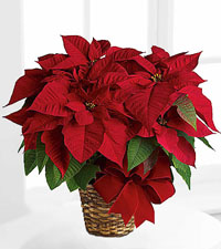 Poinsettias & Plants